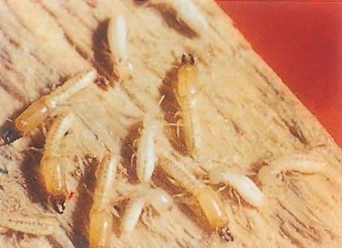 了解白蚁的生活习性,更好的做好白蚁防治工作