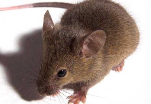 老鼠防治处理