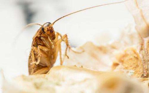 夏季蟑螂虫害防治