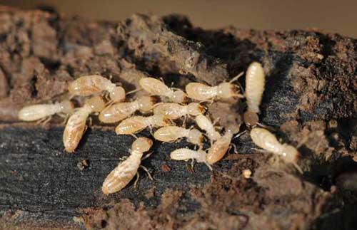 家庭白蚁治理,专业灭白蚁公司更好